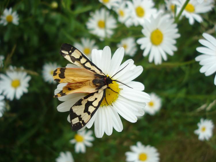 papillon_marguerite